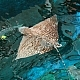 Resorts World Sentosa S.E.A Aquarium Welcomes Rare Ornate Eagle Ray
